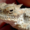 Horned Toad Hospitality | Preview of Love Affairs with Reptiles and Amphibians