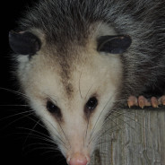 The Opossum in the Road | Excerpt from Wild Life by Jamie K. Reaser